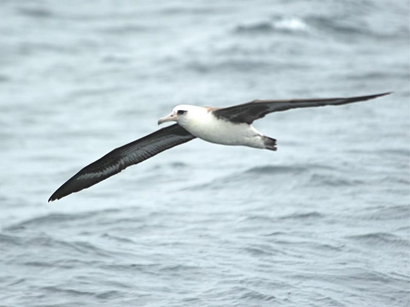 Laysan Albatross (Phoebastria immutabilis) Monterey Bay, CA