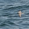 Fork-tailed Storm-Petrel (Oceanodroma furcata) Westport WA