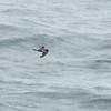 Leach's Storm Petrel (Oceandroma leucorhoa) Monterey Bay, CA