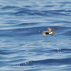 Band-rumped Storm Petrel (Oceanodroma castro) off Cape Hatteras NC