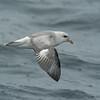 Northern Fulmar (Fulmarus glacialis) Monterey Bay, CA