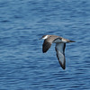Greater Shearwater (Puffinus gravis) offshore, Boston MA