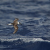 Black-capped Petrel (Pterodroma hasitata) off  Cape Hatteras NC