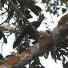 Yellow-billed Turaco (Tauraco macrorhynchus) Ankasa Forest and Reserve, Ghana