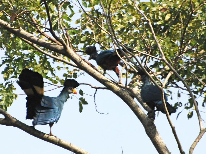 Great Blue Turaco (Corythaeola cristata) Entebbe, Uganda