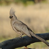 Grey Go-away-bird (Corythaixoides concolor) Etosha NP, Namibia