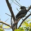 Western Plantain-eater (Crinifer piscator) Winneba Lagoon, Ghana