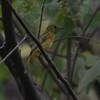 Ochre-bellied Flycatcher (Mionectes oleagineus) ProAves Eldorado Reserva, Magdalena, Columbia
