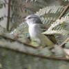White-tailed Tyrannulet (Mecocerculus poecilocercus) Reserva Hidrográfica, Forestal y Parque Ecológico de Río Blanco, Manizales, Caldas, Columbia
