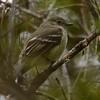 Greater Antillean Elaenia (Elaenia fallax) Zapoten, Dominican Republic