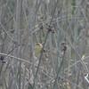 Warbling Doradito (Pseudocolopteryx flaviventris)  Lago Panueles, Chile