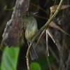 Sepia-capped Flycatcher (Leptopogon amaurocephalus) PN Cerro Azul Meambar, Cortés, Honduras