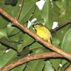 Yellow-bellied Tyrannulet (Ornithion semiflavum) Pico Bonito, Honduras