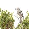 Gray Vireo (Vireo vicinior) Santa Fe NM