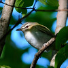 Red-eyed Vireo (Vireo olivaceous) Point Pelee, Ontario, Canada