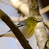 Yellow-throated Vireo (Vireo flavifrons) Pearl River WMA, Madison Co. MS