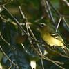 Yellow-winged Vireo (Vireo carmioli) Savagre Mountain Lodge, San Jose, Costa Rica