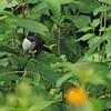 Black-headed Waxbill (Estrilda atricapilla) Mgahinga Park, Kisoro, Uganda