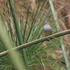 Yellow-bellied Waxbill (Estrilda quartinia) Murchison Falls NP, Uganda