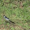 Pin-tailed Whydah (Vidua macroura) Mundemba, Cameroon