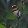 Chestnut-breasted Munia (Lonchura castaneothorax) Raitea, Tahiti, French Polynesia