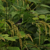 Black-and-white Mannikin (Lonchura bicolor) Nsutu Forest, Ghana