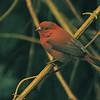 Red-billed Firefinch (Lagonosticta senegala) Entebbe, Uganda