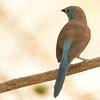 Southern Cordonbleu (Uraeginthus angolensis) Selous Game Reserve, Tanzania