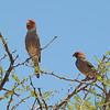Red-headed Finch (Amadina erythrocephala) Etosha NP, Namibia