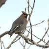 Bohemian Waxwing (Bombycilla garrulus), Great Plains Agricultural Research Station, Mandan ND
