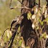 Southern Pied Babbler (Turdoides bicolor) Etosha NP, Namibia