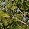 Arrow-marked Babbler (Turdoides jardineii) Kruger NP, Limpopo, South Africa