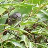 Seychelles White-eye (Zosterops modestus) La Mise`re, Mahe`, Seychelles
