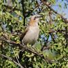 Bare-cheeked Babbler (Turdoides gymnogenys) Etosha NP, Namibia