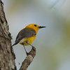 Prothonotary Warbler (Protonotaria citrea) Palmetto-Peartree Reserve, Columbia NC