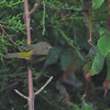 Nashville Warbler (Oreothlypis ruficapilla) Point Pelee, Ontario, Canada