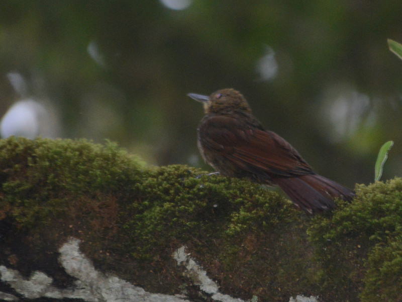 Tyrannine Woodcreeper (Dendrocincla tyrannina) Reserva Hidrográfica, Forestal y Parque Ecológico de Río Blanco, Manizales, Caldas, Columbia