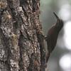 Strong-billed Woodcreeper (Xipholocolaptes promeropirhynchus) La Tigra NP, Honduras