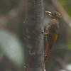Tawny-winged Woodcreeper (Dendrocincla anabatina) Pico Bonito Lodge, La Ceiba, Honduras