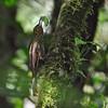 Spotted Woodcreeper (Xiphorhynchos erythropygia) killing and eating Katydid, El Valle, Panama