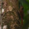 Wedge-billed Woodcreeper (Glyphorynchus spirurus) Pico Bonito Lodge, La Ceiba