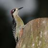 Black-cheeked Woodpecker (Melanerpes pucherani) Pico Bonito, Honduras