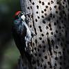 Acorn woodpecker (Melanerpes formicivorus) Cerro el Piccacho Tegucigalpa, Honduras