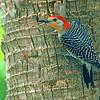 Red-bellied Woodpecker (Melanerpes carollinus), Naples, FL