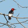 Red-headed Woodpecker (Melanerpes erythrocephalus) Desoto NWR, NE