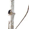 Yellow-tufted Woodpecker (Melanerpes cruentatus) Allapuhuayo, Peru