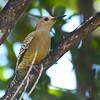 West Indian Woodpecker (Melanerpes superciliaris) Grand Cayman, Cayman Islands