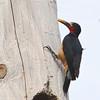 Puerto Rican Woodpecker (Melanerpes portoricensis) Ceiba, Puerto Rico