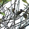 Olivaceous Piculet (Picumnus olivaceus) Lago Yajoa, Honduras