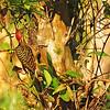 Hispanolan Woodpecker (Melanerpes striatus) Los Haitises NP, Dominican Republic